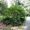 AesculusParviflora3.jpg 720 x 960 px 588.11 kB