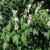 AesculusParviflora.jpg 1127 x 845 px 255.71 kB