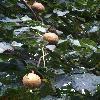 AesculusPavia5.jpg 720 x 960 px 576.02 kB