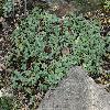 AethionemaRotundifolium2.jpg 1024 x 768 px 300.23 kB