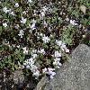 AethionemaRotundifolium.jpg 1024 x 768 px 266.43 kB
