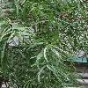 AfrocarpusFalcatus2.jpg 1024 x 768 px 170.86 kB