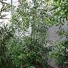 AfrocarpusFalcatus.jpg 681 x 908 px 437.32 kB
