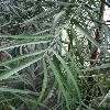 AfrocarpusMannii2.jpg 681 x 908 px 295.33 kB