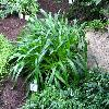 AgapanthusAfricanus3.jpg 1024 x 768 px 216.89 kB