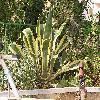 AgaveAmericanaMarginata.jpg 1024 x 768 px 268.15 kB