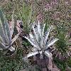 AgaveAmericanaMediopicta.jpg 1024 x 768 px 267.07 kB