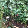 AglaonemaOblongifolium2.jpg 681 x 908 px 379.06 kB