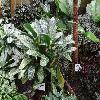 AglaonemaOblongifoliumCurtisii.jpg 1024 x 768 px 252.05 kB
