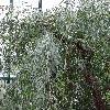 AgonisFlexuosa2.jpg 681 x 908 px 465.29 kB