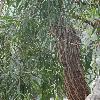 AgonisFlexuosa3.jpg 720 x 960 px 418.05 kB