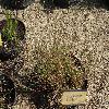 AgrostisCanina.jpg 1167 x 875 px 420.84 kB