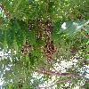 AilanthusAltissima2.jpg 1024 x 768 px 220.19 kB