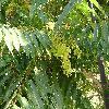 AilanthusAltissima.jpg 1024 x 768 px 240.33 kB