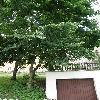 Ailanthus.jpg 638 x 850 px 174.45 kB