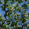 AlbiziaJulibrissin7.jpg 720 x 960 px 510.07 kB