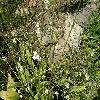 AlismaPlantagoaquatica2.jpg 1127 x 845 px 314.4 kB