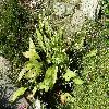 AlismaPlantagoaquatica.jpg 1127 x 845 px 349.13 kB