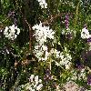 Allium3.jpg 1095 x 821 px 233.91 kB