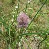 Allium4.jpg 1127 x 845 px 184.21 kB