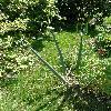 Allium5.jpg 638 x 850 px 221.79 kB