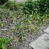 AlliumAflatunensePurpleSensation.jpg 681 x 908 px 452.14 kB