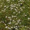 AllochrusaGypsophiloides2.jpg 800 x 1200 px 532.91 kB