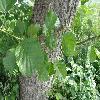 AlnusGlutinosa2.jpg 1127 x 845 px 185.44 kB
