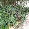 Aloe13.jpg 1110 x 833 px 293.96 kB
