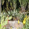 Aloe5.jpg 1110 x 833 px 279.34 kB