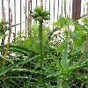 Aloe.jpg 576 x 768 px 121.93 kB