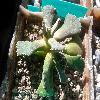 AloinopsisMalherbei.jpg 1204 x 903 px 419.07 kB