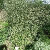 AlthaeaCannabina.jpg 638 x 850 px 257.81 kB