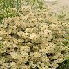 AmbrosiaSalsola4.jpg 600 x 903 px 438.21 kB