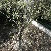 Amelanchier2.jpg 1127 x 845 px 337.04 kB