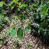 AmelanchierAlnifoliaSmoky2.jpg 1024 x 768 px 312.83 kB