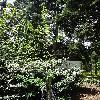AmelanchierAlnifoliaSmoky.jpg 681 x 908 px 512.69 kB