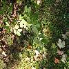 AmelanchierCanadensis3.jpg 1024 x 768 px 242 kB