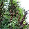 AmorphaFruticosa.jpg 1167 x 875 px 558.32 kB