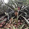 AnanasComosus4.jpg 696 x 928 px 357.74 kB