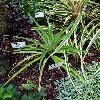 AnanasComosus.jpg 576 x 768 px 105.04 kB