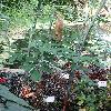 AnchomanesDifformis6.jpg 720 x 960 px 492.41 kB