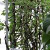AnemopaegmaChamberlaynii.jpg 681 x 908 px 192.77 kB