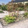 AngelicaArchangelica.jpg 1127 x 845 px 266.4 kB