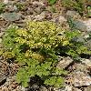 AngelicaBrevicaulis3.jpg 900 x 1200 px 595.51 kB