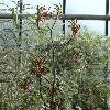AnigozanthosPulcherrimus3.jpg 720 x 960 px 371.46 kB