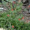 AnisacanthusQuadrifidusWrightii2.jpg 720 x 960 px 397.86 kB