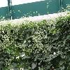 AnrederaCordifolia4.jpg 1024 x 768 px 225.66 kB