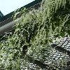 AnrederaCordifolia5.jpg 720 x 960 px 461.59 kB