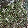 AntennariaPlantaginifolia.jpg 1024 x 768 px 309.24 kB